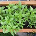 Tự trồng rau sạch tại Khu Biệt Thự The Oasis